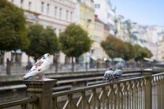 Karlovy Vary Carlsbad, Pigeons on a handrail. Tepla river.  Czech Republic Stock Photography