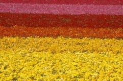 Karlsbad-Ranch, Ranunculus, San Diego, CA lizenzfreie stockfotos