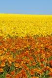 Karlsbad-Ranch, Ranunculus, San Diego, CA stockfoto