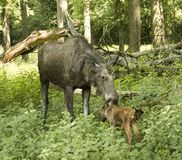 . Karlsruhe, Germany, Europe. Elk cow with child in the forest. Karlsruhe, Germany, Europe Royalty Free Stock Photos