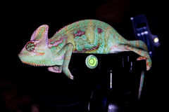 Karma chameleon. A colorfull chameleon walking on a glass stock photo
