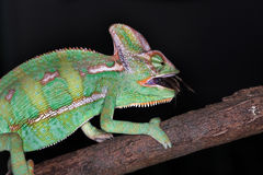 Karma chameleon. A colorfull chameleon eating a fly Royalty Free Stock Photos
