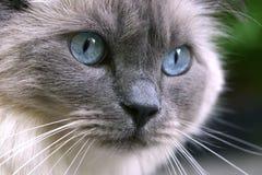 Karma's eyes. Closeup of cat eyes Royalty Free Stock Photos