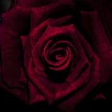 Karmazyn róża w pełnym kwiacie Zdjęcie Royalty Free