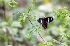 Karmazyn róży motyl w ostrej ostrości Fotografia Stock