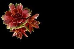 Karmazynka i kurczątko Tłustoszowata roślina Obrazy Stock