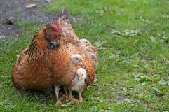 Karmazynka i kurczaki Zdjęcie Royalty Free