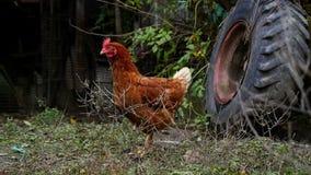 Karmazynka i kurczaki przy gospodarstwem rolnym zbiory