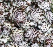 Karmazynka i Pisklęca roślina w śniegu Obrazy Royalty Free