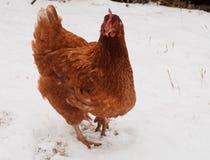 Karmazynka Na śniegu fotografia royalty free