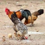 Karmazynka, rodzina, kurczak, kurczątko Fotografia Royalty Free