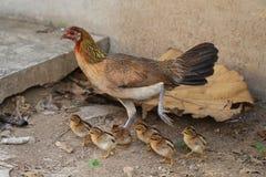 Karmazynka z dziecko kurczaków kurczątkami chodzi wpólnie na gospodarstwie rolnym, macierzysty kurczaka chronienia nauczania dzie Zdjęcia Stock