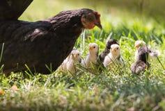 Karmazynka z dziecko kurczakami Obrazy Royalty Free