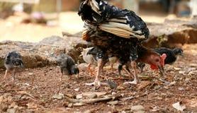 Karmazynki i dziecka kurczaki fotografia royalty free