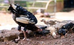 Karmazynki i dziecka kurczaki zdjęcie royalty free