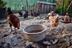 Karmazynki i kogut karmią na tradycyjnym wiejskim rolnym jardzie Bezpłatny pasmo traken Zdjęcie Stock