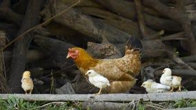 Karmazynki i kurczątka w tradycyjnym gospodarstwie rolnym w Nepal Zdjęcie Stock