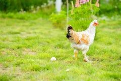 Karmazynki i kurczaki Fotografia Royalty Free