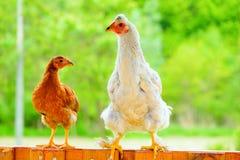 Karmazynki i kurczaki Zdjęcia Royalty Free