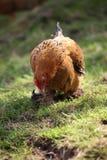 Karmazynki i kurczaki podnoszący na organicznie gospodarstwie rolnym Obraz Stock