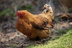 Karmazynki i kurczaki podnoszący na organicznie gospodarstwie rolnym Fotografia Royalty Free