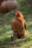 Karmazynki i kurczaki podnoszący na organicznie gospodarstwie rolnym Fotografia Stock