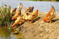 Karmazynki przy brzeg rzeki Obrazy Stock
