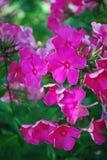 Karmazynu floksa kwiatu różowy grono w ogródzie fotografia royalty free