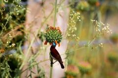 Karmazyny podparty Sunbird Zdjęcie Stock