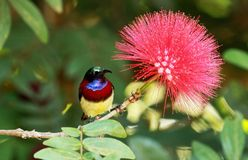 Karmazyny popierali sunbird, Leptocoma minima, samiec, Coorg, Karnataka, India obraz royalty free