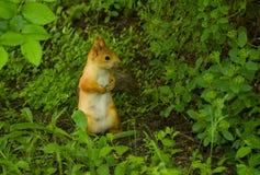 Karmiącej matki wiewiórka w poszukiwaniu dzieciaków Fotografia Royalty Free