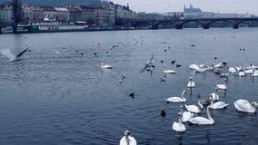 Karmić łabędź na Vltava widok Praga kasztel od quay zbiory wideo