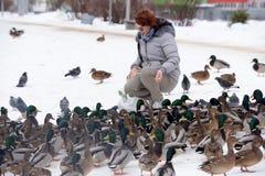 Karmić kaczki opuszczał dla zimy przy zatoczką Obraz Stock