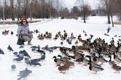 Karmić kaczki opuszczał dla zimy przy zatoczką Zdjęcia Stock