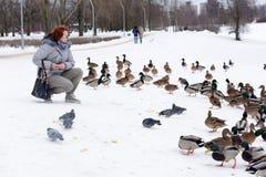 Karmić kaczki opuszczał dla zimy przy zatoczką Obrazy Stock