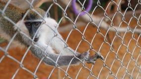 Karmić małpy w zoo zbiory