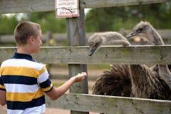 Karmić struś na gospodarstwie rolnym w lecie Fotografia Royalty Free