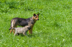 Karmiącej matki pies z szczeniakiem Obraz Stock