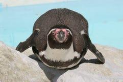 Karmiący Humboldt pingwin (Spheniscus humboldti) Obrazy Royalty Free