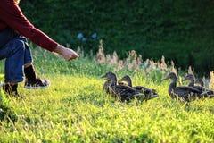 Karmić kaczki Obrazy Royalty Free