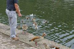 Karmić kaczki Zdjęcie Royalty Free