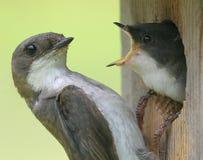 karmią mnie dwa ptaki Obraz Royalty Free