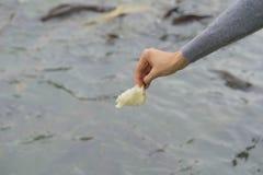 Karmi ryba w rzece z chlebem zdjęcia stock
