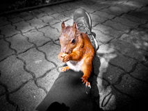 Karmić wiewiórki w drewnie Zdjęcia Stock