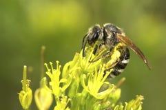 karmienia pszczół Fotografia Royalty Free