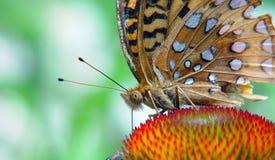 karmienie motyla Obraz Stock
