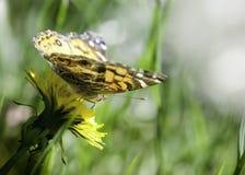 karmienie motyla kwiat Zdjęcia Stock