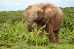 karmienie słonia Obraz Stock