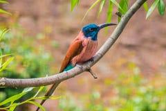 Karmijn bij-eter zitting op de rode en blauwe veren van de boomtak stock foto