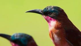 Karminbienenfresser sind großartige Luftjäger und Experten an fangenden Insekten im mitten in der Luft, Savanne, Afrika stockfoto